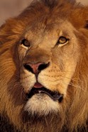 Closeup of a Male Lion, South Africa