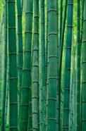 Bamboo forest, Hangzhou, Zhejiang Province, China
