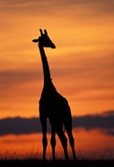 Giraffe Silhouetted, Masai Mara Game Reserve, Kenya