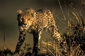 Cheetah Cub in Short Grass, Masai Mara Game Reserve, Kenya