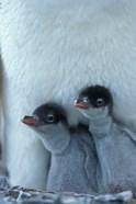 Gentoo Penguin Chicks, Port Lockroy, Wiencke Island, Antarctica