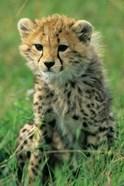 Cheetah, Tanzania, Serengeti NP, Cheetah cub