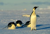 Emperor Penguins, Antarctica, Atka Bay, Weddell Sea