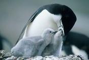 Chinstrap Penguins, Deception Island, Antarctica
