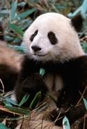 China, Chengdu, Panda Sanctuary, Panda bear