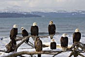 Bald Eagles in Winter, Homer, Alaska