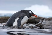 Antarctica, Cuverville Island, Gentoo Penguin climbing from water.