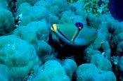 Arabian Picasso Triggerfish, Panorama Reef, Red Sea, Egypt