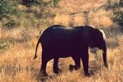 Close-up of Elephant in Kruger National Park, South Africa