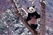 Giant Panda Standing on Tree, Wolong, Sichuan, China