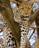 Africa. Tanzania. Leopard in tree at Serengeti NP