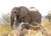 African Elephant and Zebra at Namutoni Resort, Namibia