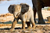 Baby African Elephant in Mud, Namibia