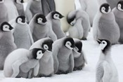 Emperor Penguins on ice, Snow Hill Island, Antarctica