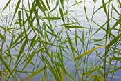 Bamboo Growing Waterside, China
