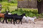 Africa, Mozambique, Ibo Island, Quirimbas NP. Goats running down path.
