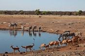 Africa, Namibia, Etosha. Black Faced Impala in Etosha NP.