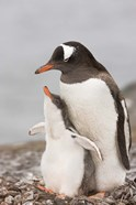 Antarctica, Aitcho Island. Gentoo penguin chick