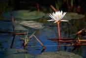 Botswana, Okavango Delta. Water Lily of the Okavango