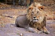 Botswana, Savute, Chobe National Park, Lion