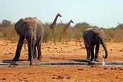 Elephants and giraffes, Etosha, Namibia