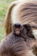 Baby Gelada Baboon primate, Ethiopia