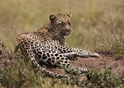 Africa, Tanzania, Serengeti. Leopard, Panthera pardus.