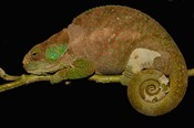 Hilleniusi chameleon lizard, MADAGASCAR