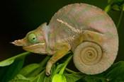 Baudrier's Chameleon, Lizard, Madagascar, Africa