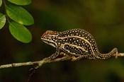 Campan's chameleon lizard, Madagascar