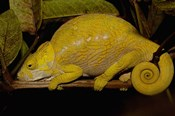 Globular Chameleon, Lizards, Madagascar