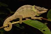 Green-eared Chameleon lizard, Madagascar, Africa