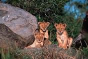 Den of Lion Cubs, Serengeti, Tanzania
