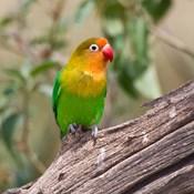 Fischer's Lovebird tropical bird, Tanzania