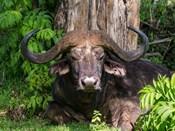 African Buffalo, Aberdare National Park, Kenya
