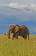 Kenya, Maasai Mara National Park, Male elephant