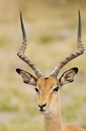 Male Impala, Botswana