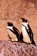 Jackass Penguins, Simons Town, South Africa