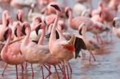 Kenya, Lake Nakuru, Flamingo tropical birds