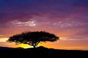 Kenya, Masai Mara. Sunrise silhouette, acacia tree