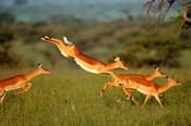 Impala, Aepyceros melampus, Mara River, Kenya