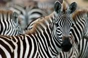 Kenya: Masai Mara Game Reserve, Burchell's zebra