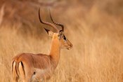 Impala in tall Bushman grass, Mahango Game Reserve, Namibia