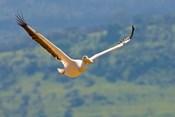 Kenya. White Pelican in flight at Lake Nakuru.