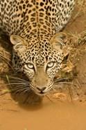 Leopard at waterhole in Masai Mara GR, Kenya