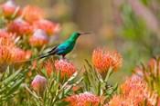 Malachite Sunbird, Cape Province, South Africa
