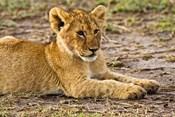 Lion Cub Laying in the Bush, Maasai Mara, Kenya
