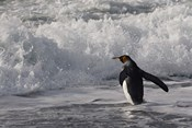 King Penguin in the surf, Antarctica