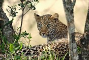 Leopard resting beneath tree, Maasai Mara, Kenya