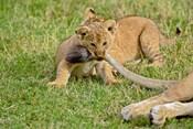 Lion cub, mothers tail, Masai Mara Game Reserve, Kenya